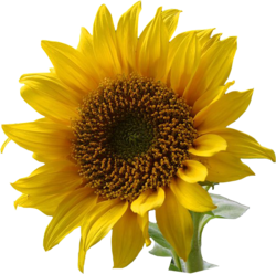 Daisy clipart sunflower. Make pickled buds recipe