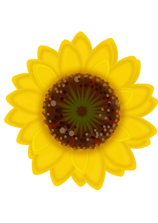 Daisy clipart sunflower. Common family seed fat