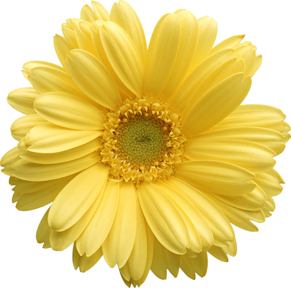 Daisy clipart sunflower. Yellow gerber am i