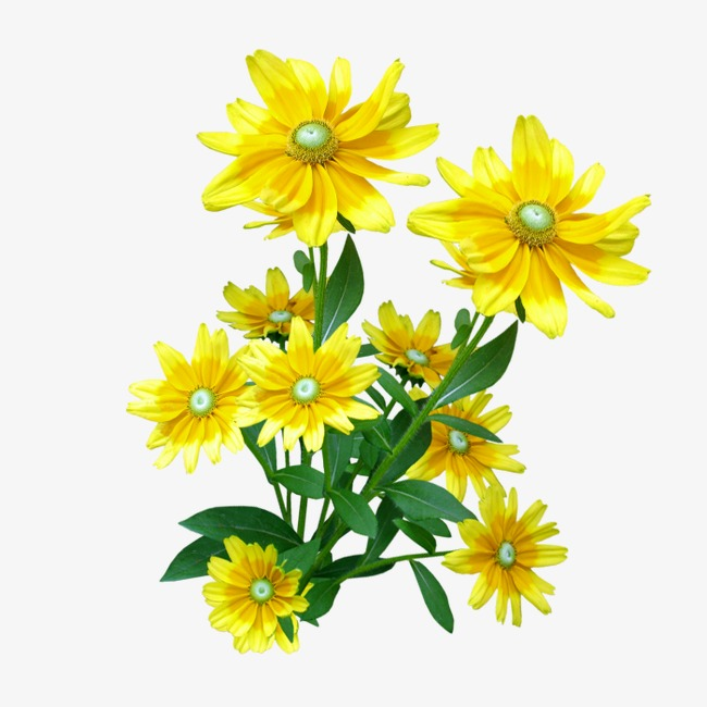 Daisy clipart sunflower. Yellow flower png image