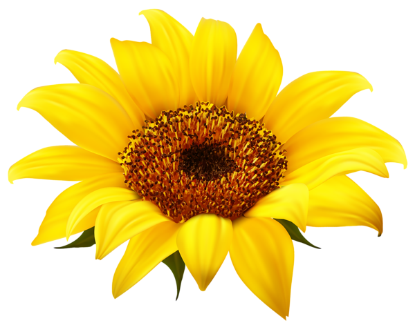 sunflower clipart realistic