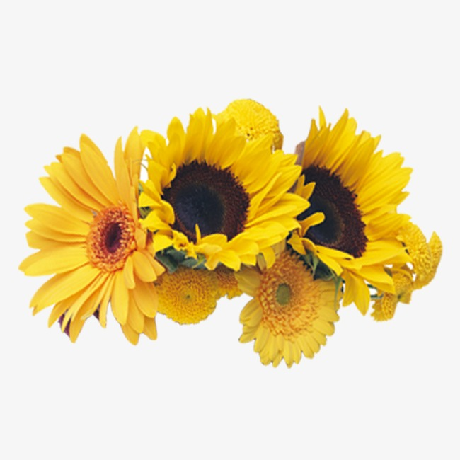 Daisy clipart sunflower. Chrysanthemum group png image