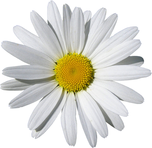 Daisy clipart transparent background. Camomile high quality png