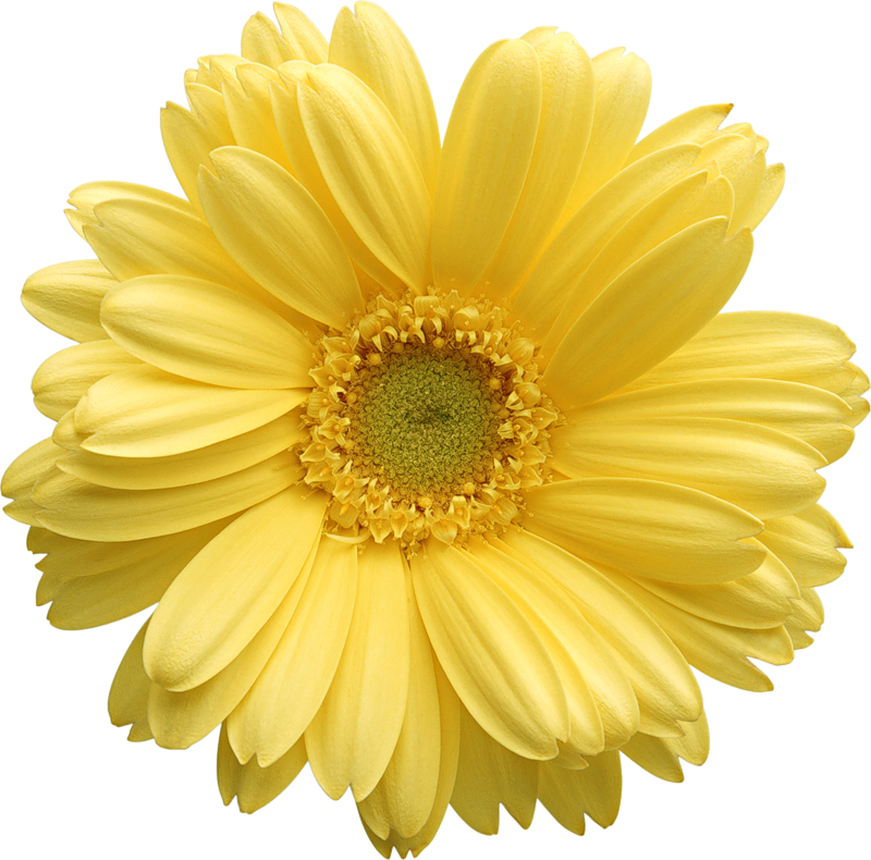 Yellow gerber gallery yopriceville. Daisy clipart transparent background clipart free download