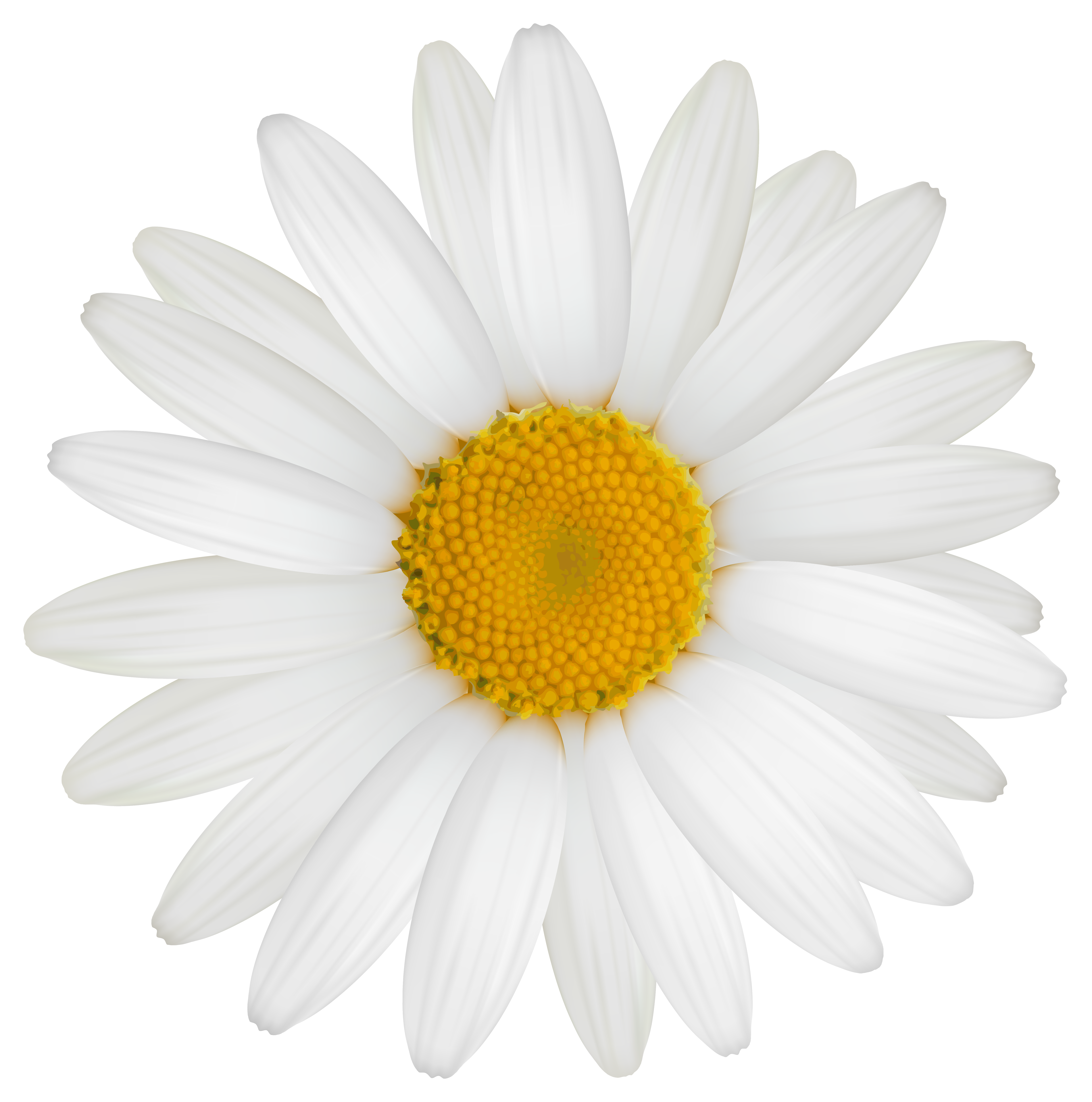 Daisy clipart transparent background. Png image gallery yopriceville