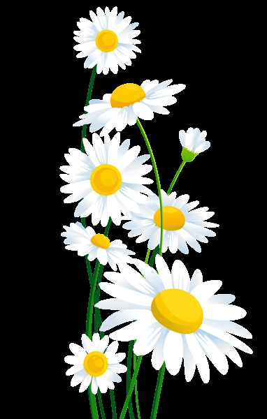 Daisy clipart transparent background. Flowers white daisies png