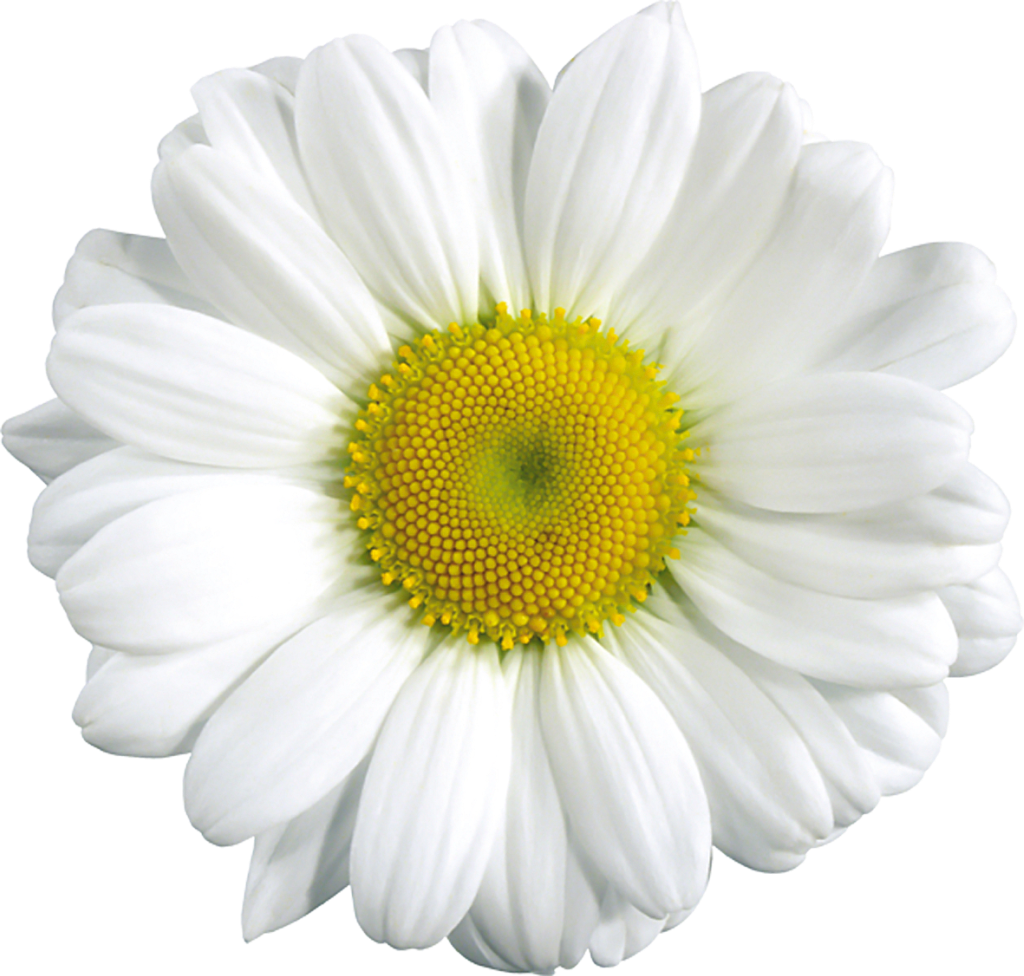 Daisy clipart transparent background. Large gallery yopriceville high