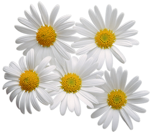 Isolated photos of search. Daisy clipart transparent background picture black and white download