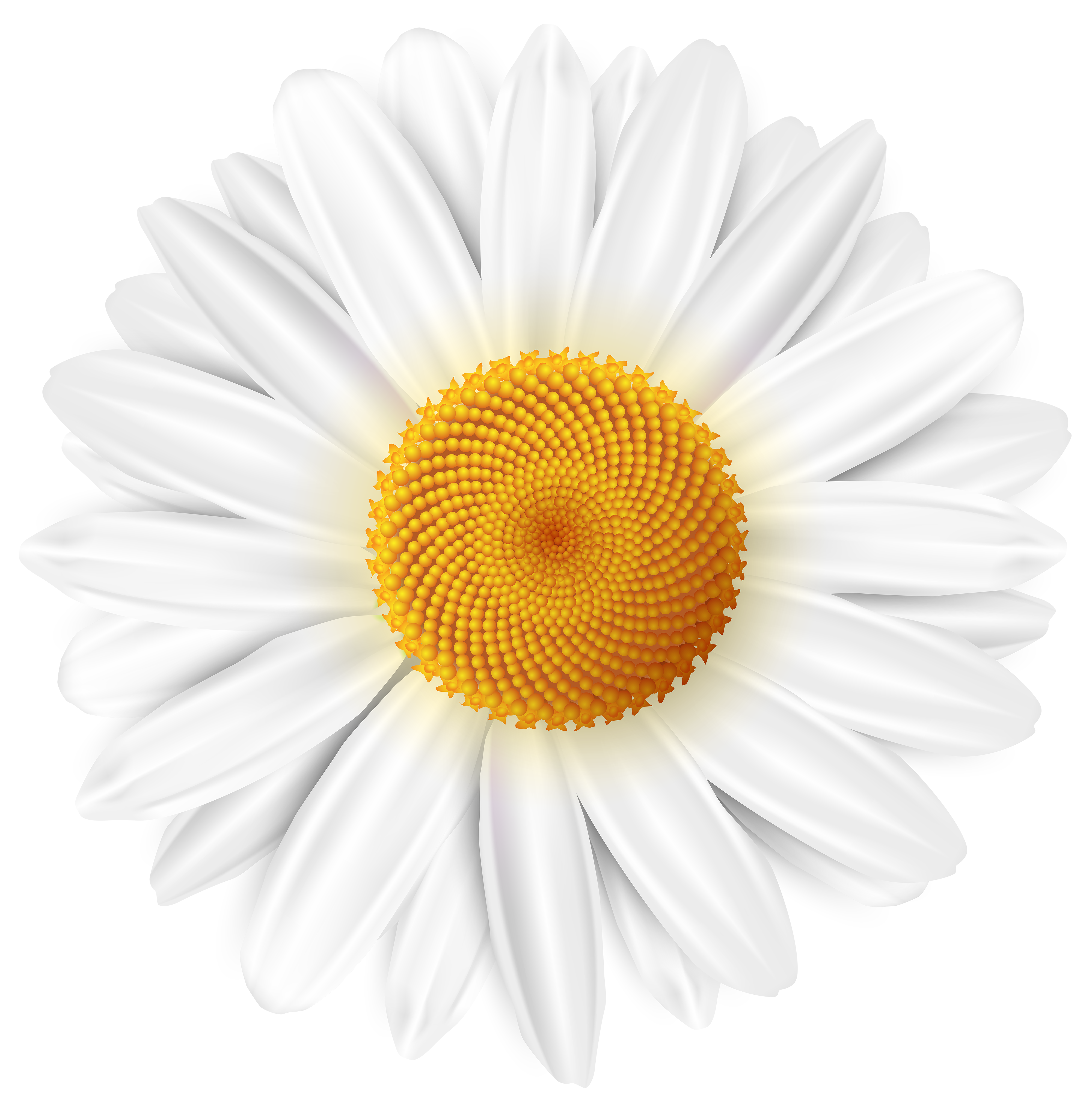 Daisy clipart transparent background. White png clip art