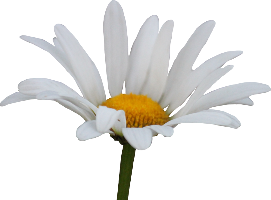Daisy png. Transparent background mart