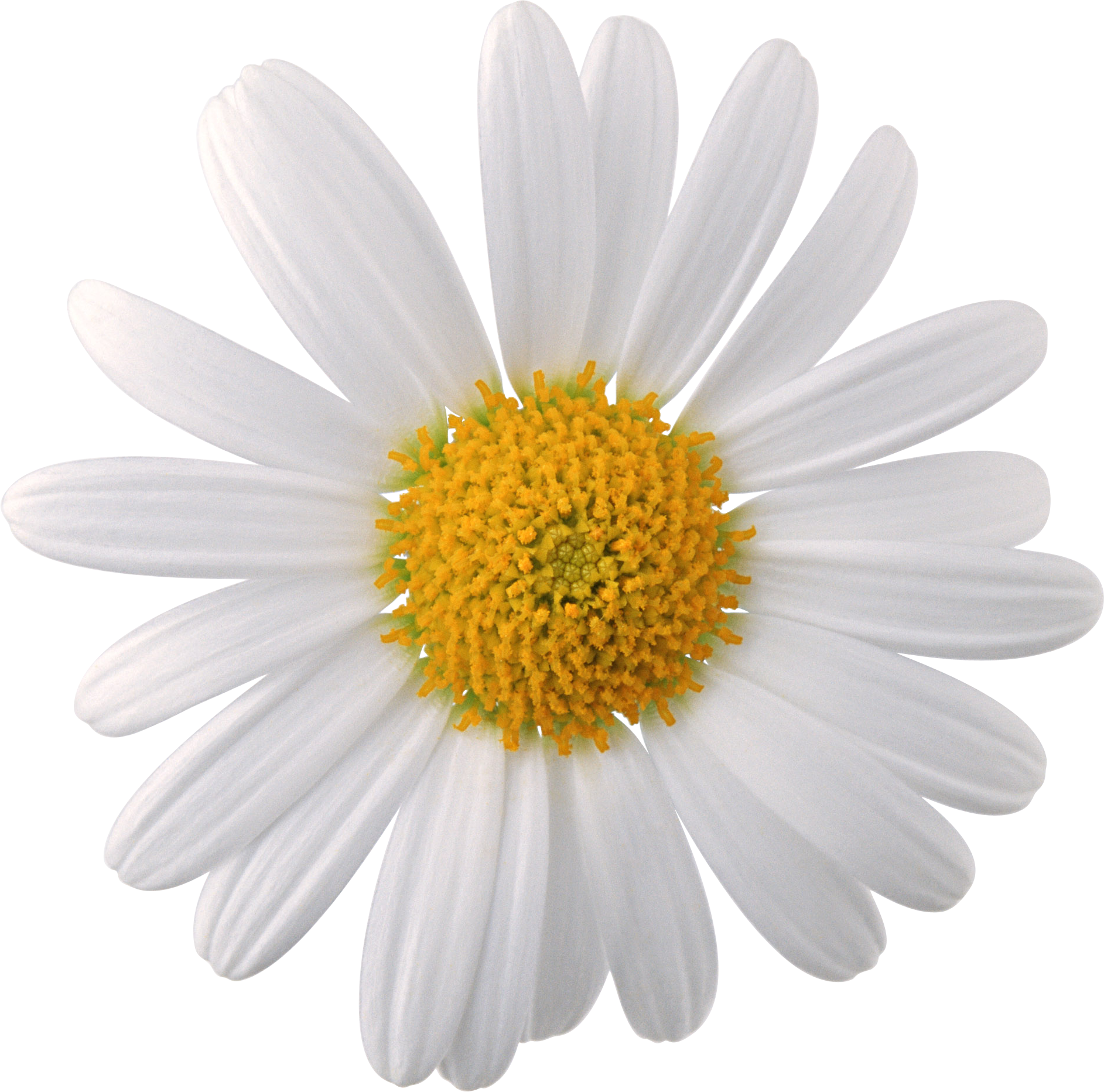Daisy flower png. Camomile image free picture
