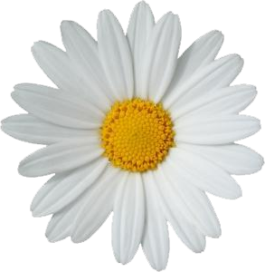 Flor margarita png. Pin by madeline serrano
