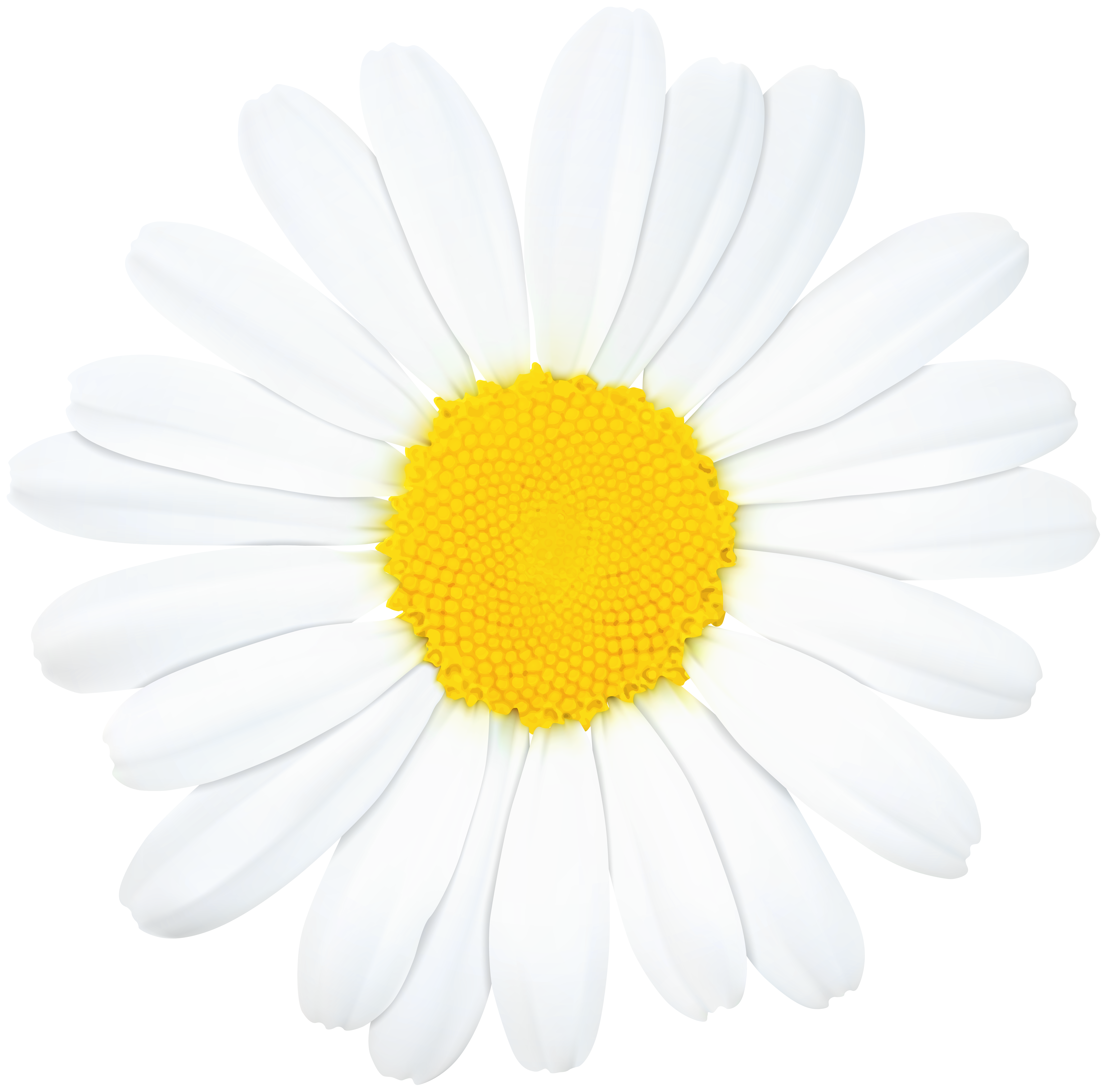 Daisy flower png. Clip art image gallery