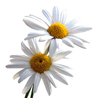 Daisy png. File mart