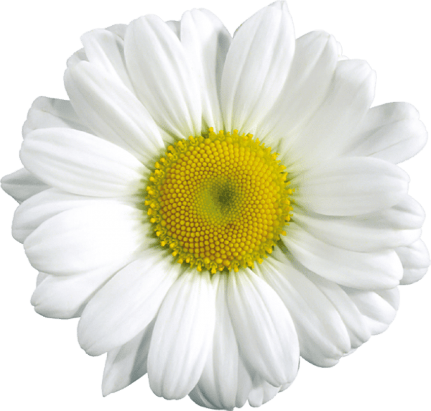 Daisy png. Download large transparent images