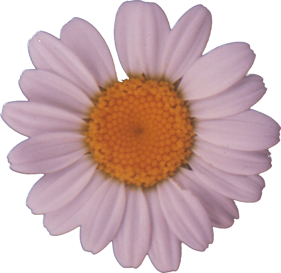 Daisy png. File wikimedia commons filedaisypng