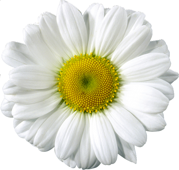 Daisy png. Free clip art elements