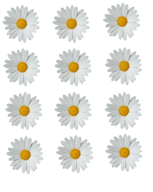daisy png tumblr
