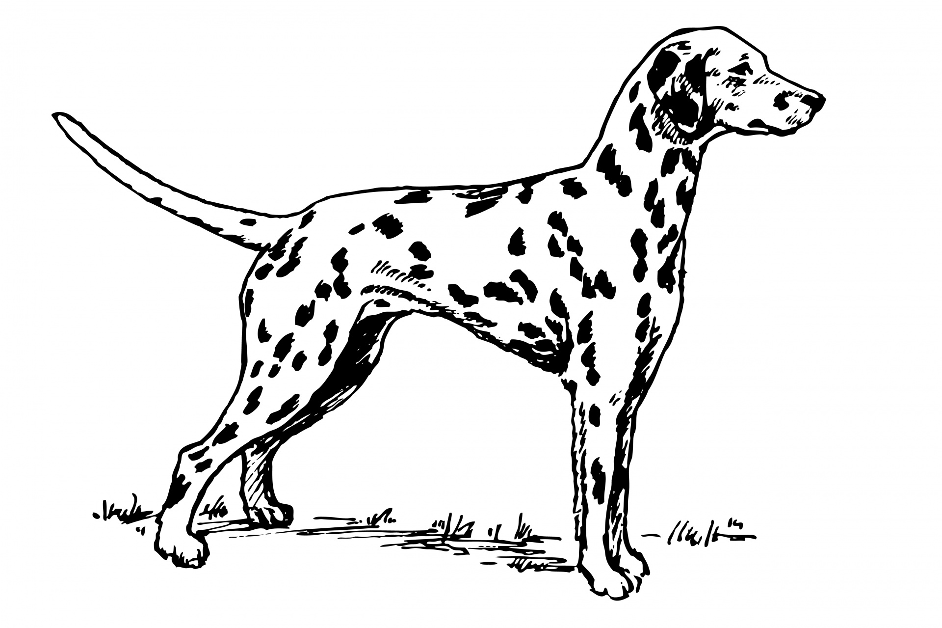 Dalmatian clipart. Dog free stock photo