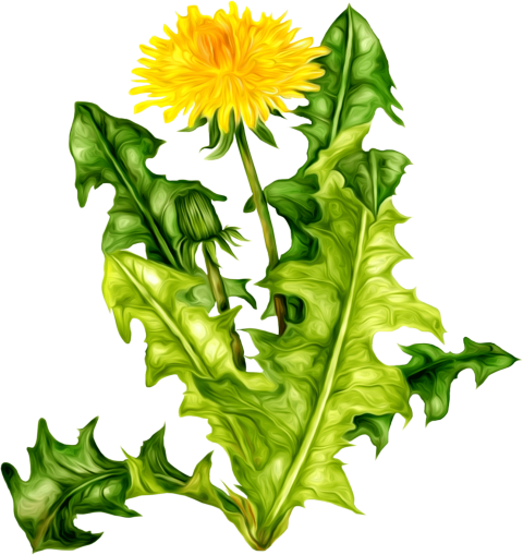 Dandelion clipart. Download png photo toppng