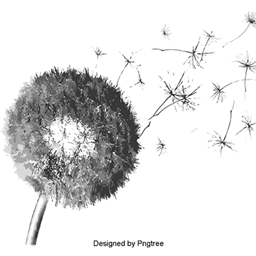 Dandilion drawing summer. Dandelion png images download