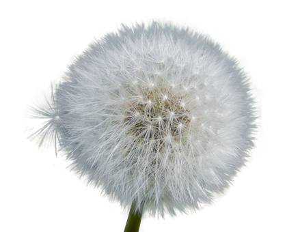 Dandelion flower png. Free photo close nature