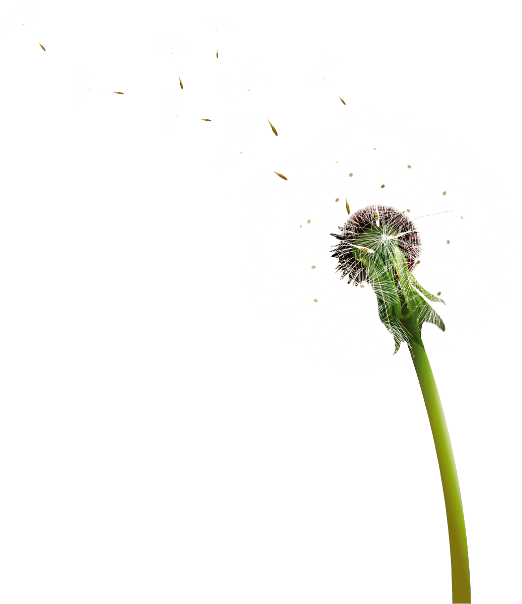 Dandelion flower png. Blowing transparent stickpng
