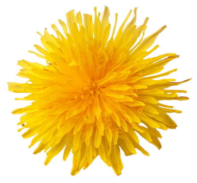 Dandelion flower png. Transparent stickpng