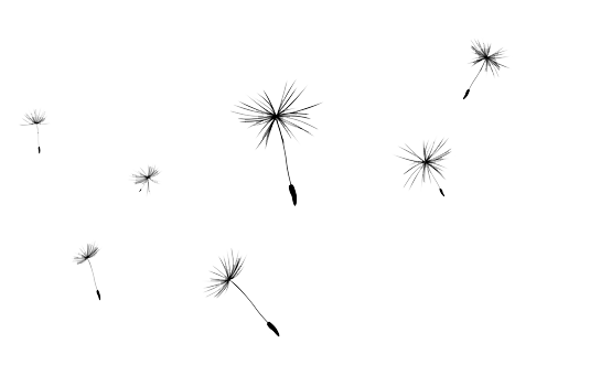 Hd png transparent images. Dandelion clipart vector royalty free library