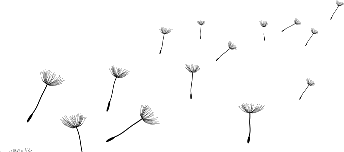 Dandilion drawing dandelion seed. Collection of high