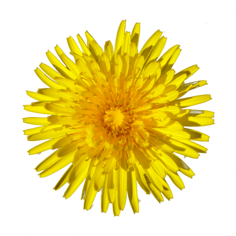 Png free images toppng. Dandelion transparent svg royalty free library