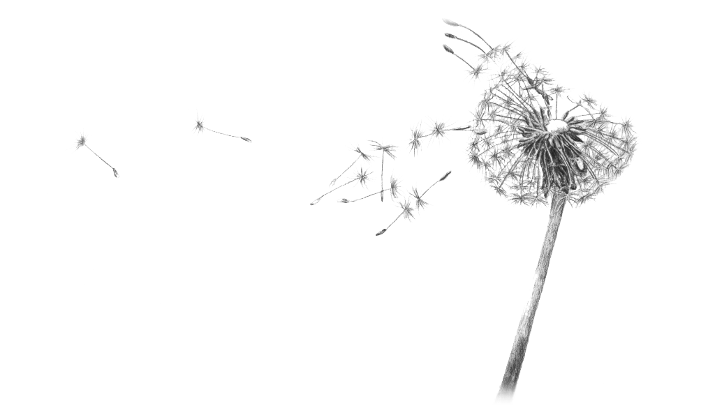 Dandelion transparent clear background. Noble my love angst
