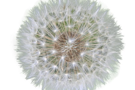 Best wild flowers white. Dandelion transparent clear background png free download