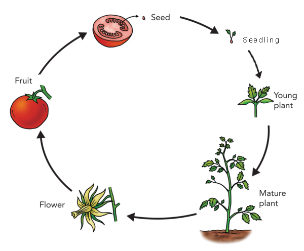 Dandelion transparent life cycle. Plants for food and