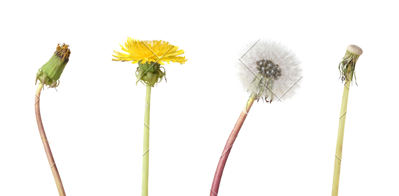 Weeds drawing stages flower. Dandelion isolated photos by