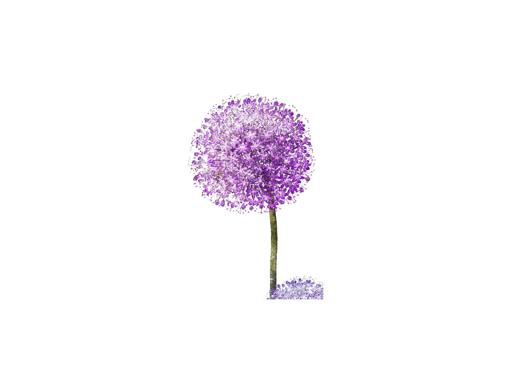 Dandelion transparent purple. Wallpaper transprent png free