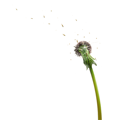 Dandelion transparent realistic. Flower royalty free