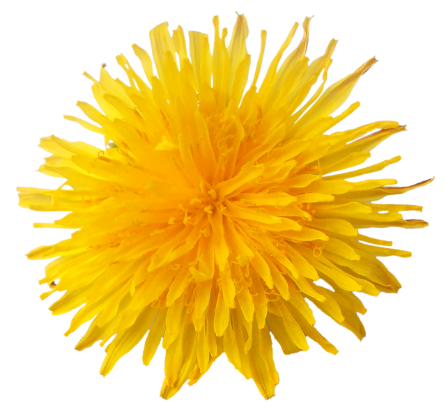 Drawing dandelion sow thistle. Pin by next on