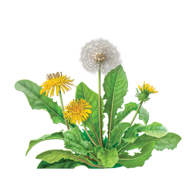 Can tea really cure. Dandelion transparent root png free library
