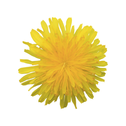 Dandelion transparent yellow. Fluffy flower with background