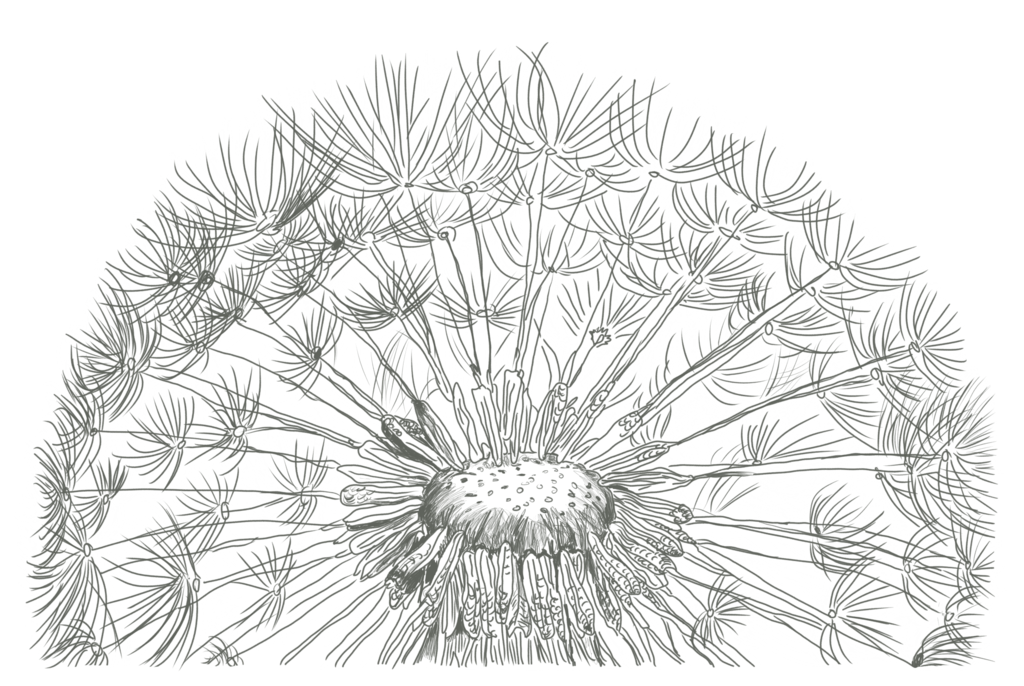 Dandilion drawing. Of a dandelion by
