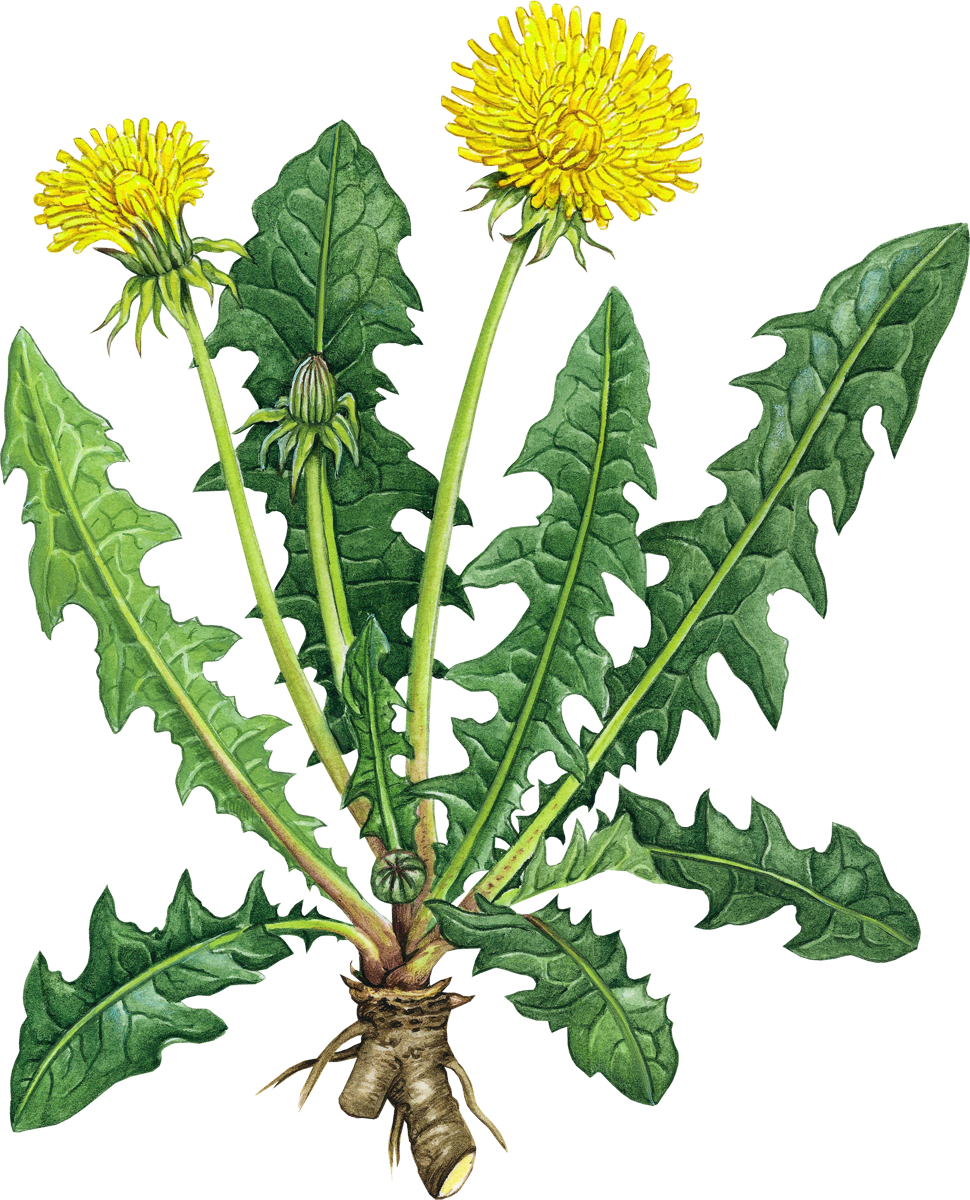 Drawing dandelion sow thistle. Pin by k sov