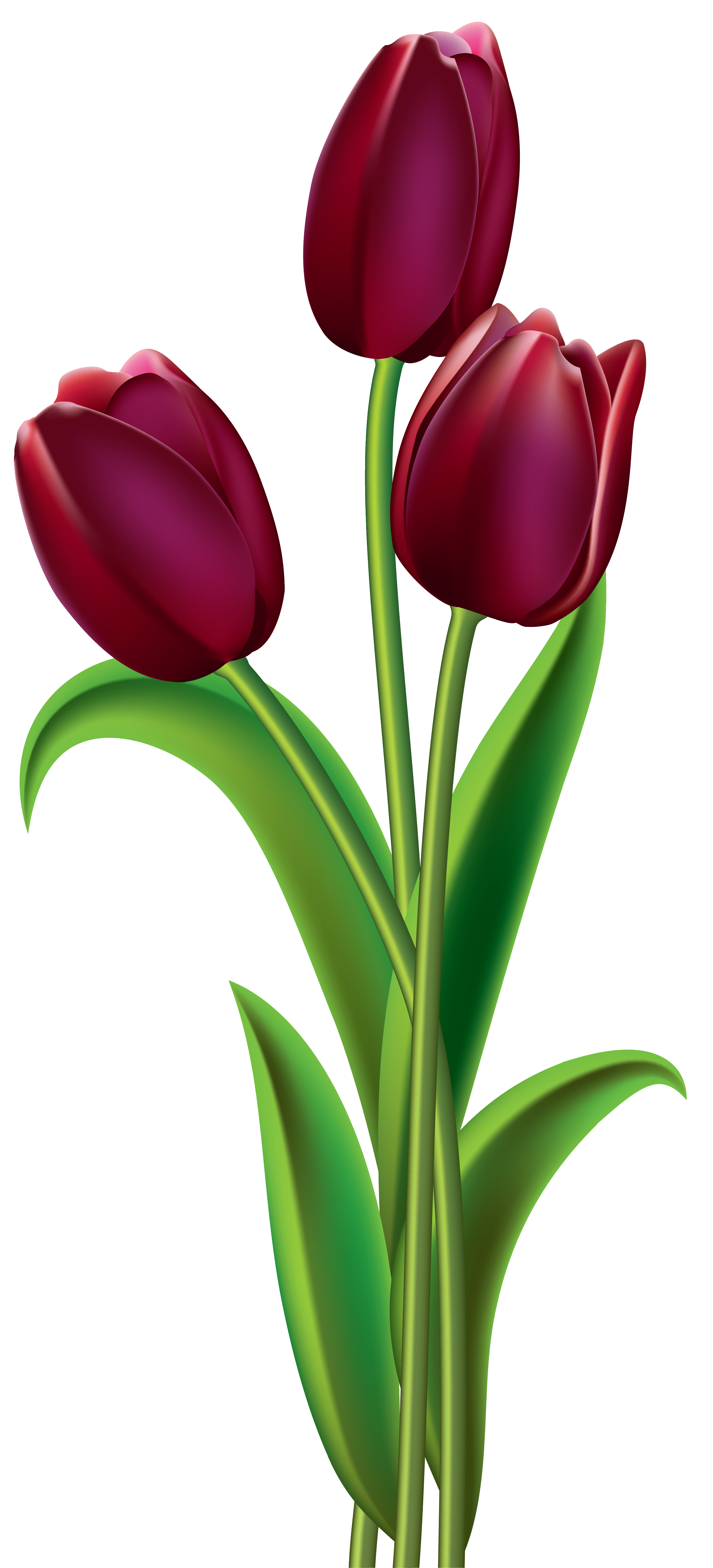 Dark flowers png. Red tulips clipart image