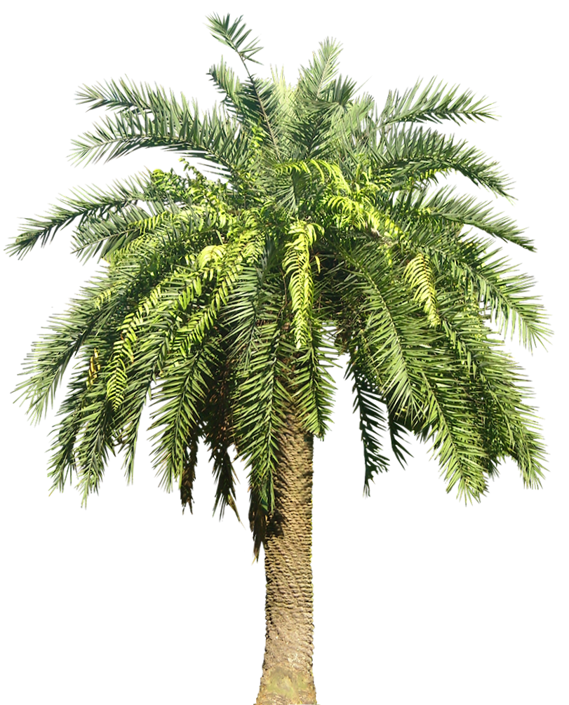Date palm png. Tropical plant pictures phoenix