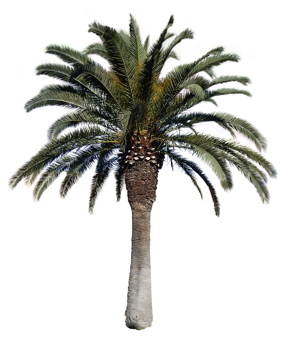 Date palm png. Transparent tree background free