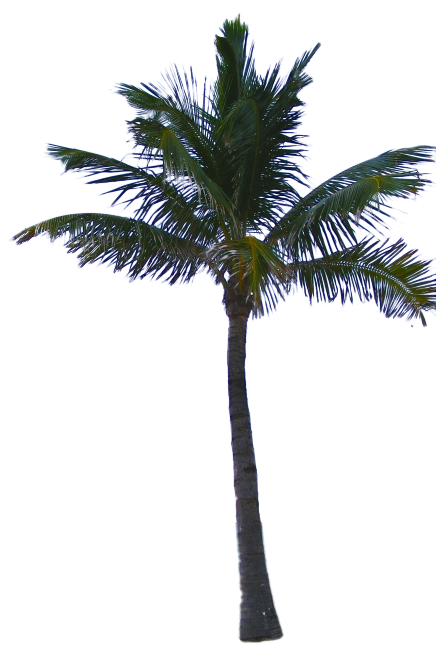 Date palm png. Tree image