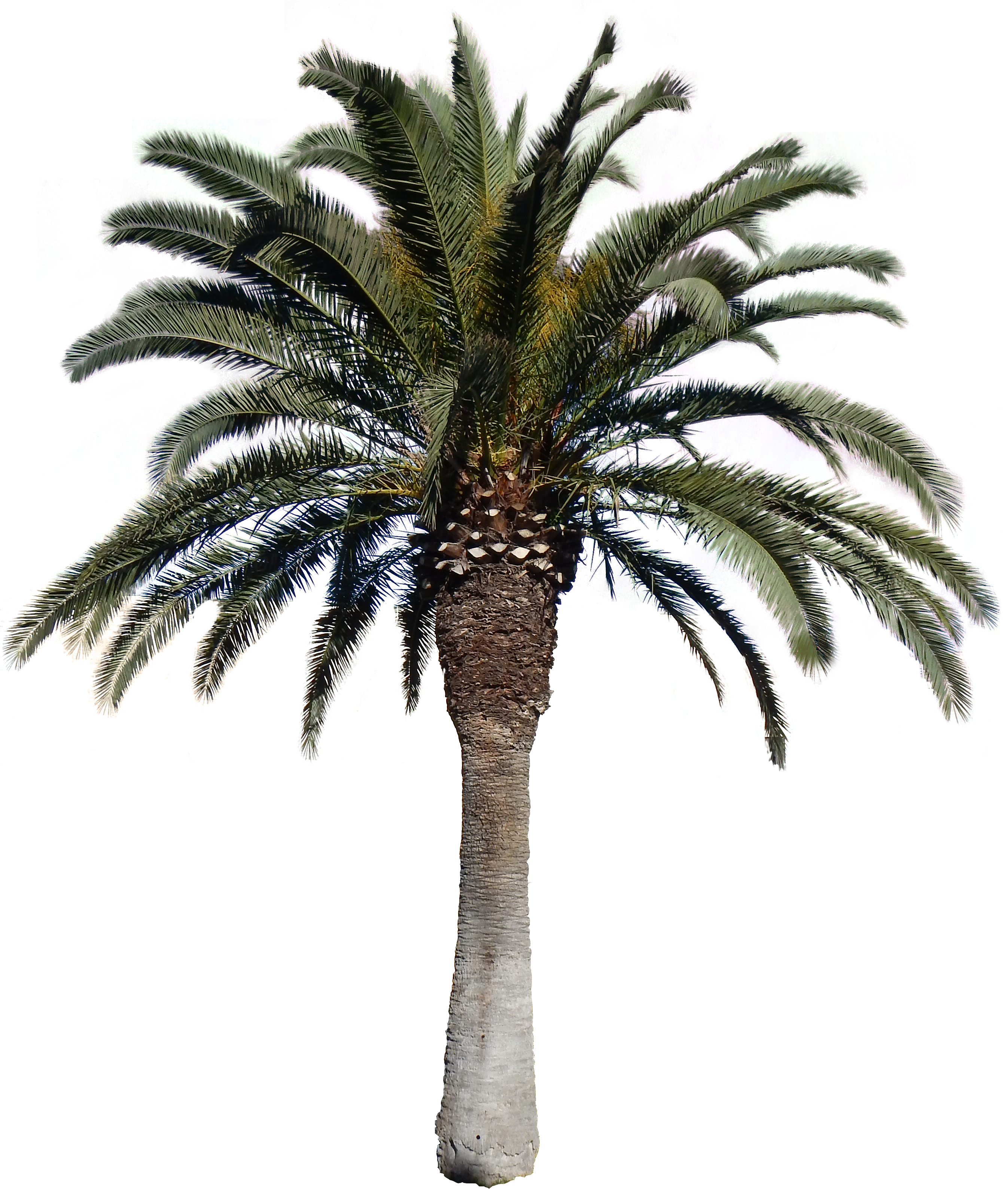 Date palm tree png. Download transparent images pluspng