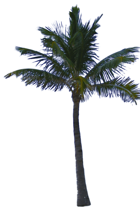 Date palm tree png. Free images toppng transparent