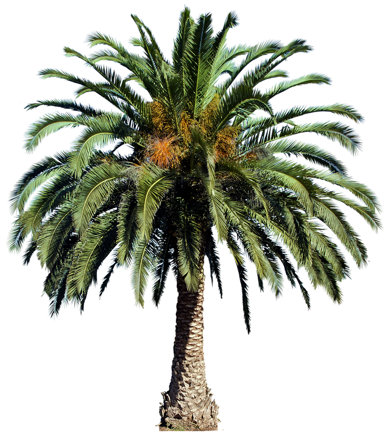 Date palm tree png. A collection of tropical