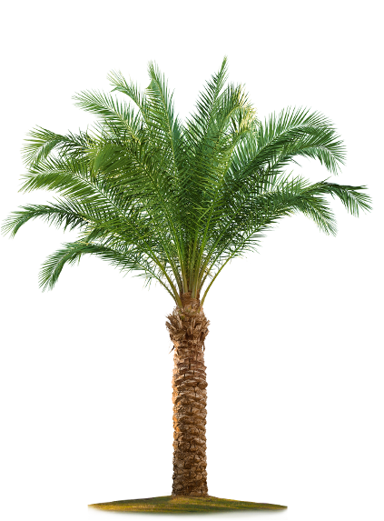 Date palm tree png. Index of images v